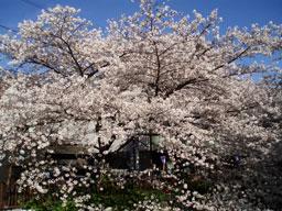 20070330sakura.jpg